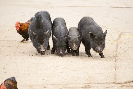 Vietnamese pigs on rural yard