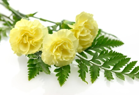 carnations: Yellow carnation flowers