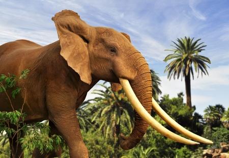 gigantesque: african elephant