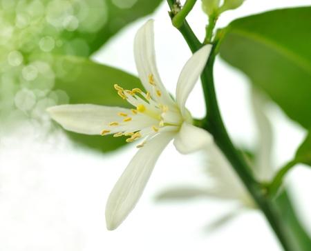 flor del árbol de limón Foto de archivo