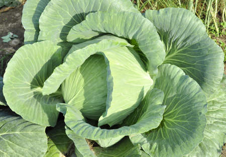 fruiting young cabbage head photo