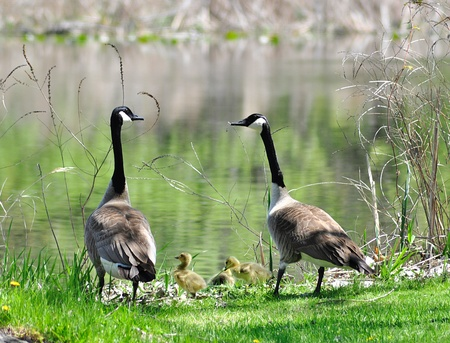 canada geese family photo