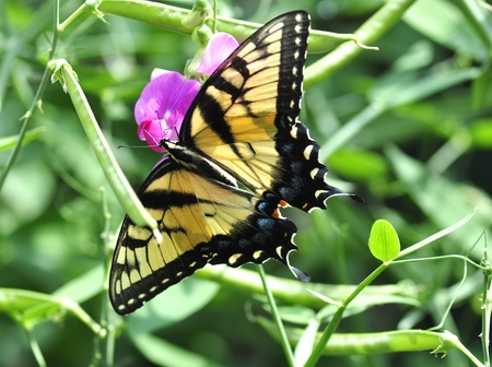 a yellow butterfly on sweet peas flowers photo