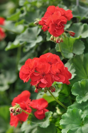 Red garden geranium flowers , close up shot photo