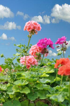 geranium color: Red and pink garden geranium flowers against a blue sky