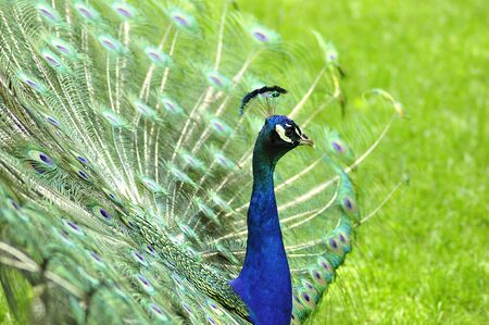 a peacock Stock Photo - 9074906