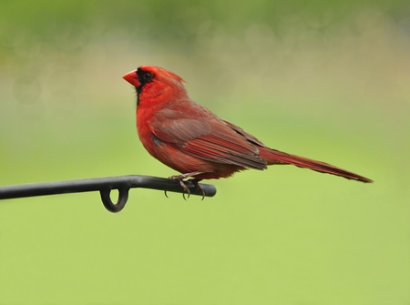 redbird: Male northern cardinal
