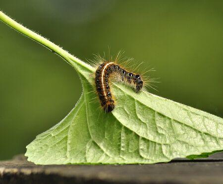 Black caterpillar with long hair