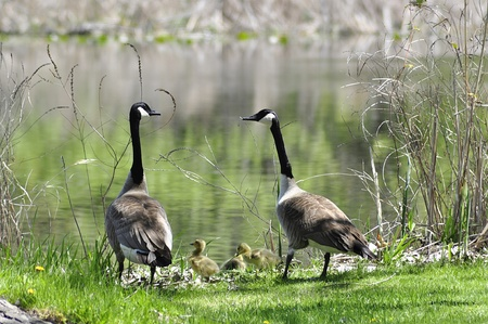 canada goose family 版權商用圖片