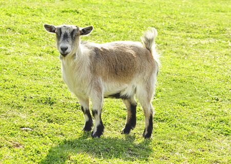 goat Stock Photo - 9074699
