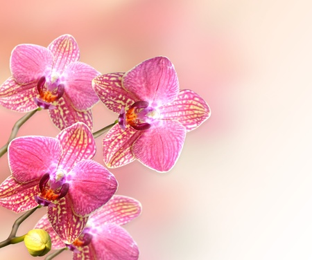 pink orchid flowers , close up for background photo