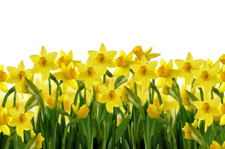 abstract background  of yellow spring daffodils on white background photo