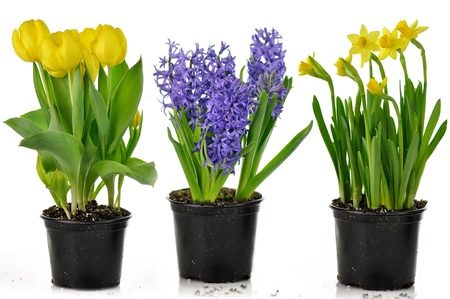 plant pot: spring flowers in pots ready for garden