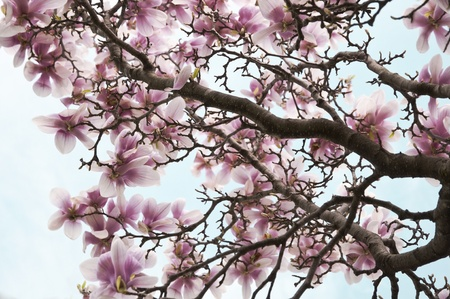 pink and white magnolia flowers on a tree Stock Photo - 9584054