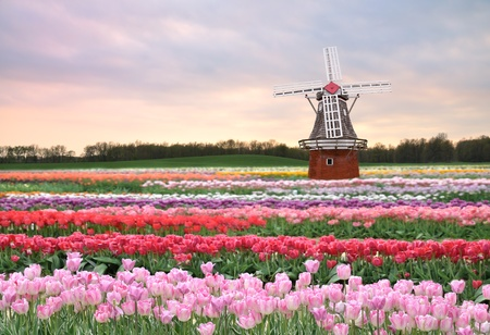 a windmill on a tulips field in the spring evening