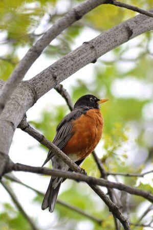 Amerikaanse robin zittend op de boomtak