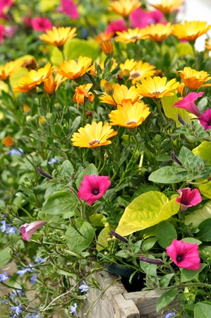 colorful summer flowers in a wooden flower bed photo