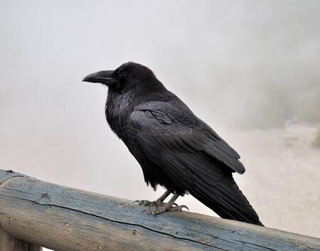 big black wild raven sitting on a wood in a foggy morning photo
