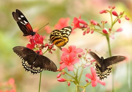 mariposas amarillas: Bellas mariposas tropicales en un flores rojas Foto de archivo