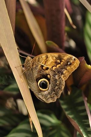 mariposa azul: común mariposas morpho azul sobre una hoja, morpho peleides