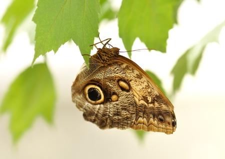 common blue morpho, morpho peleides , on a green leaf Stock Photo - 10016336