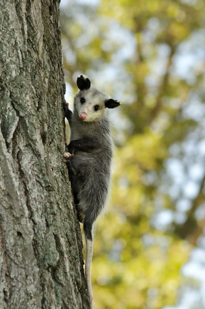 opossum: a young opossum climbing on a tree Stock Photo