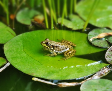 leap: a Frog resting on a lotus leaf  Stock Photo