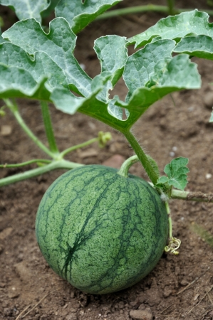 non urban scene: a small watermelon growing in the garden Stock Photo