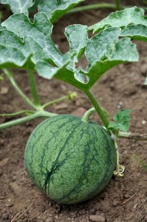 een kleine watermeloen groeien in de tuin