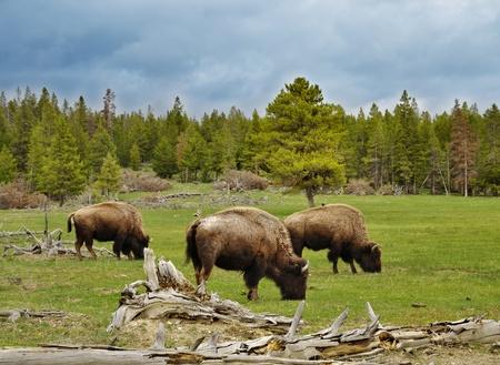 Berglandschaft mit Bisons und grünen Wäldern