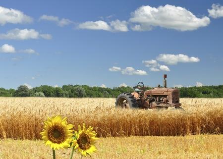 cultivo de trigo: viejo tractor roto en un campo de trigo