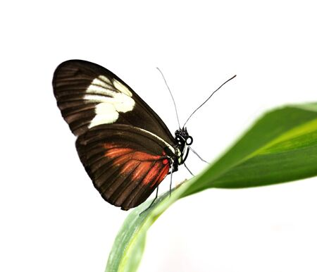 arthropoda: a beautiful tropical butterfly , Large Postman on a leaf , on white background