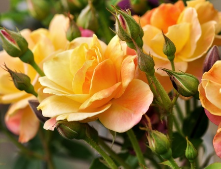 yellow rose: pink and yellow roses  in the garden