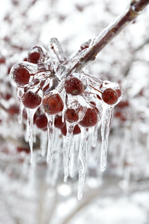 fallen fruit: Red Berries With Icicles, Close Up Shot