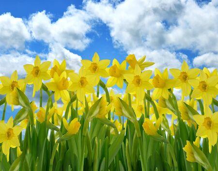 Een Veld Van Gele narcis Bloemen Tegen Een Blauwe Hemel Stockfoto