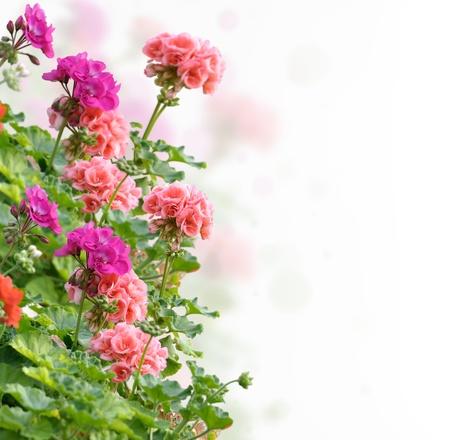 Colorful Geranium Flowers On White Background Zdjęcie Seryjne