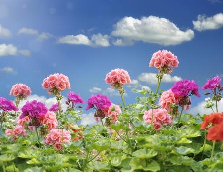 pelargonium: Geranium Flowers Against A Blue Sky Stock Photo