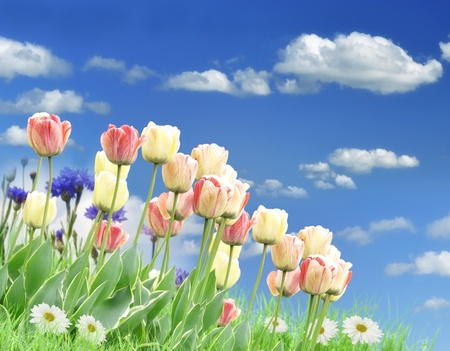 tulips in green grass: Colorful Spring Flowers And Grass Against A Blue Sky