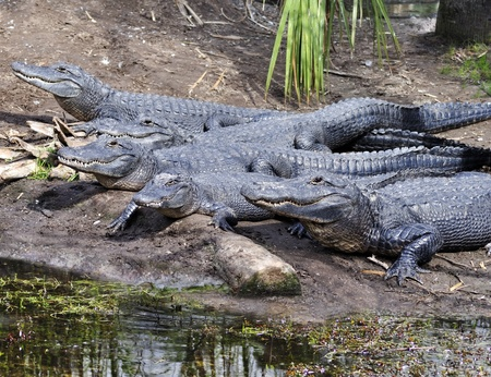 Group of American Alligators basking in the sun photo