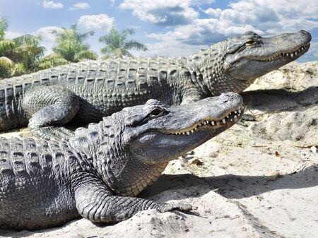 alligator: Alligators resting On The Sand