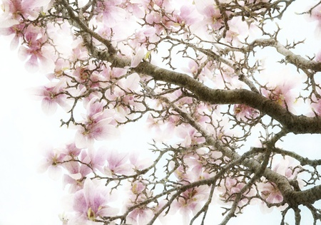 Pink Magnolia Flowers Abstract Background Stock Photo
