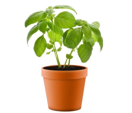 flower pot: Fresh Basil Plant In A  Pot  Stock Photo