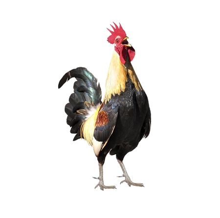 cock: Colorful Rooster Isolated On White Background Stock Photo