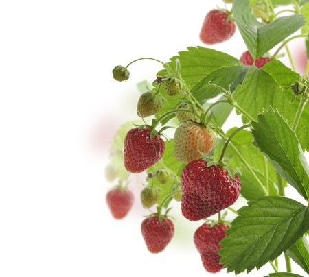 strawberry plant: Strawberry Plant With Berries On White Background