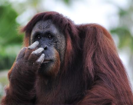 orangutan: Orangutan  Pongo Pygmaeus  Portrait ,Close Up
