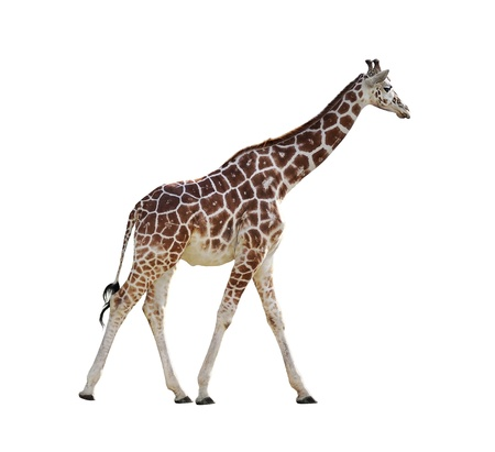 Giraffe Isolated On White Background photo