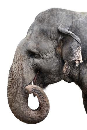 elephant head: Elephant Portrait On White Background Stock Photo