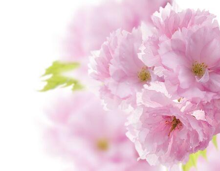 Almond Tree Flowers , Close Up Stok Fotoğraf