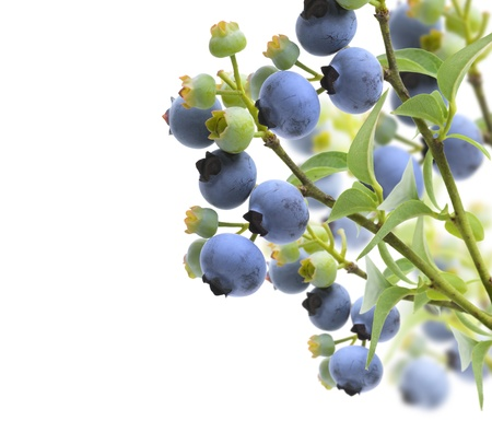 Blueberries On The Branches On White Background