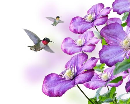 花と白い背景のハチドリ
